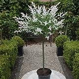 Standard Salix Hakuro-nishiki - 1 tree