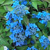 ヤマアジサイ:藍姫(アイヒメ)4号ポット[可憐な一重ガク咲き品種]