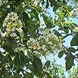 Crape Myrtle (white) Live Plant fit 5 Gallon Pot a.k.a Lager. fauriei \'Natchez\' w FREE Decorative Poly Bag w Customize Funny Garden Quote