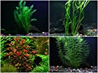 Oxygenating Plants Pack for Live Ponds or Aquariums (Small - 10 Bunches)