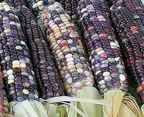 Glass Gem Corn seeds Amethyst and Pearls Plus FREE Wildflower Gift. (Indian Corn Cobs compare prices)