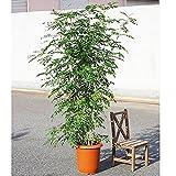 シマトネリコ トネリコ 10号 大鉢 大型 鉢植え 株立ち 庭木 トネリコの木 インテリア ガーデニング 観葉植物
