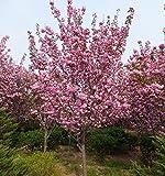 家庭菜園のためのプロモーション熱い販売300PCSベゴニアの種子ピンク7種類の色盆栽花の種鉢植え植物