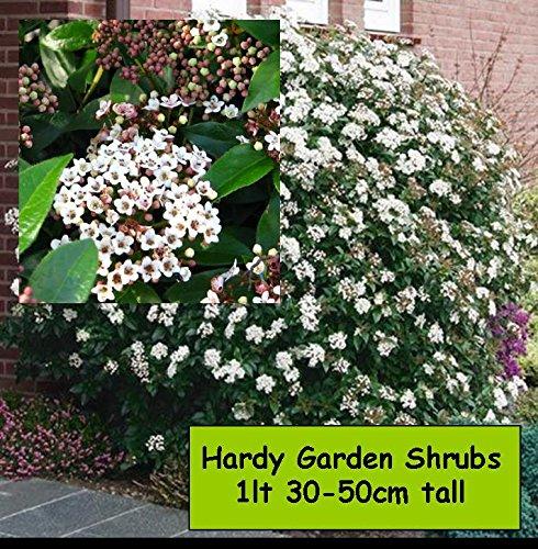 garden-shrub-plants-viburnum-tinus-winter-flowering-hardy-outdoor-garden-bush