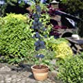 Prunus domestica Black Amber Plum Tree - 1 tree