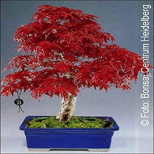 Tropica bonsai acero rosso for Acero rosso milano