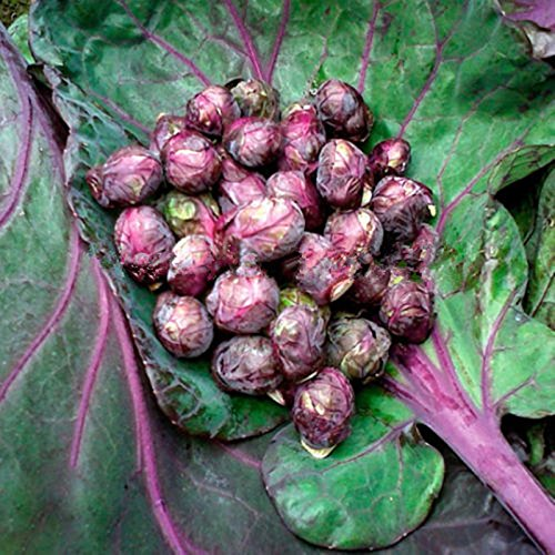 Free Ship Purple Thousand-headed Cabbage Seed Brussels Sprouts Cabbage Mini Vegetable Seed - 40 Seeds