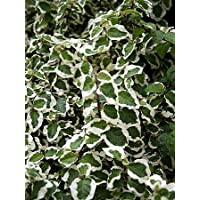 Creme & Green Creeping Fig Plant - Ficus - House Plant or Terrarium