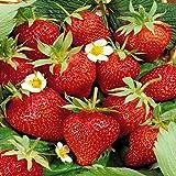 Strawberry fragaria Ostara - 3 plants