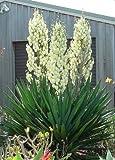 Yucca filamentosa Adams Needle (1)