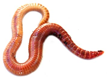 Uncle Jim S Worm Farm 1 000 Count Red Wiggler Live