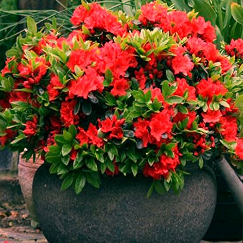 1-x-red-azalea-japanese-evergreen-shrub-hardy-garden-plant-in-pot