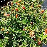 Future Exotics Der Granatapfel Punica granatum winterhart bis minus 12