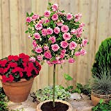 Meillandina mini standard rose Pink - 1 rose