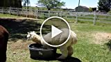 Alpaca Tries to Swim in a Tub