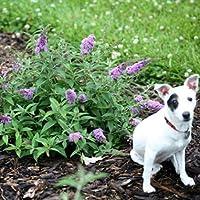 Lo & Behold® Buddleia x 'Lilac Chip' PPAF Butterfly Bush-4