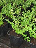 3 x Escallonia Donard Seedling 4ltr