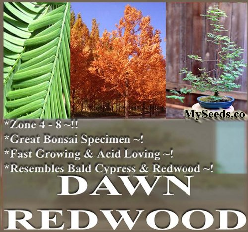 30 Dawn Redwood Tree Seeds ACID LOVING & POLLUTION TOLERANT ~ M. glyptostroboides