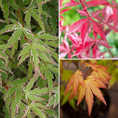 japanese-maple-shrub-collection-acer-palmatum-3-varieties-in-105cm-pots