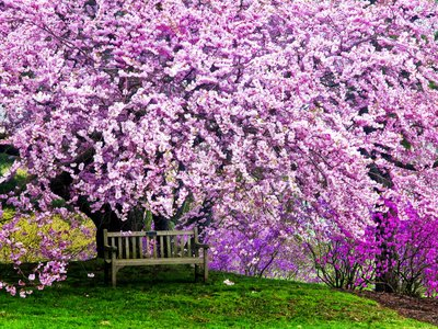 Wooden Bench under Cherry Blossom Tree in Winterthur Gardens, Wilmington, Delaware,