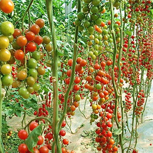 {Factory Direct Sale} 10 Pcs Sweet Huge Tomato Tree Seed Nutritious Delicious Fruits Vegetables Plant Organic Heirloom Fresh Seed