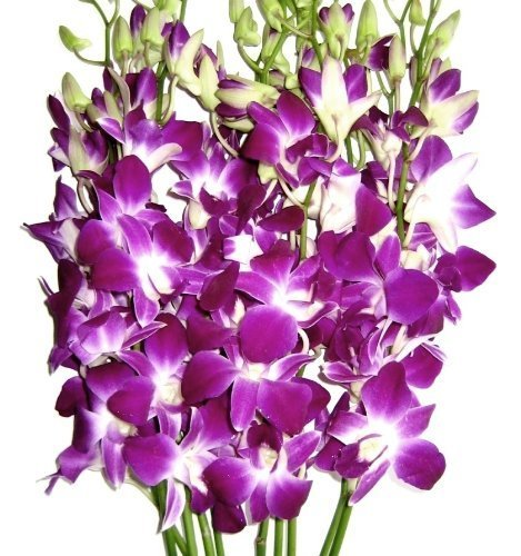 Graduation Flowers - 10 Stems Purple Dendrobium Orchid with Ribbon