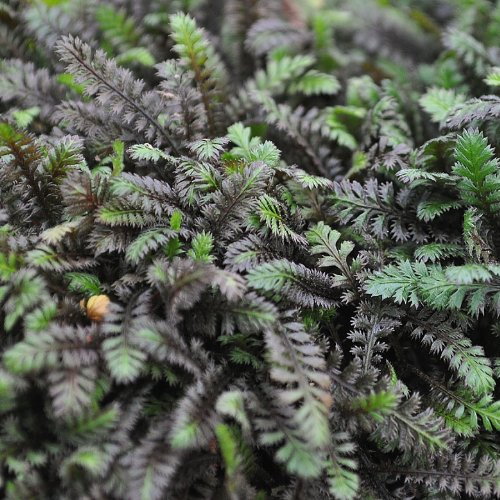 Leptinella squalida, Platt's Black, Brass Buttons