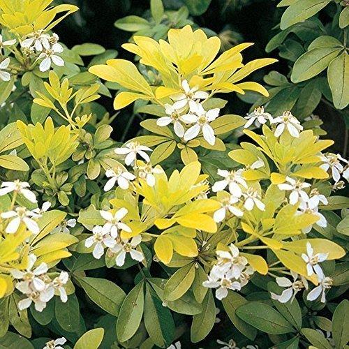 1-x-choisya-sundance-mexican-orange-evergreen-hardy-shrub-plant-in-pot