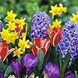 JULIA'S GARDEN-100 MIXED SPRING FLOWER BULBS -HYACINTH, CROCUS,DWARF NARCISSI,DWARF TULIP-PERENNIAL-ADVANCE ORDER