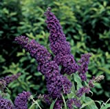 'Black Knight' Butterfly Bush - Buddleia - Oldtimer/Hardy - 4