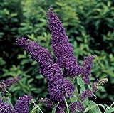 Buddleia Black Knight Butterfly Bush Oldtimer/Hardy 4 inch pot