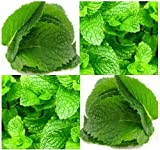 PEPPERMINT MINT Seed - MENTHA MINT SEEDS - Medicinal and Cosmetic - FRAGRANT & WARM - Makes Great Cup of Tea (000300 Seeds - 300 Seeds - Pkt. Size)