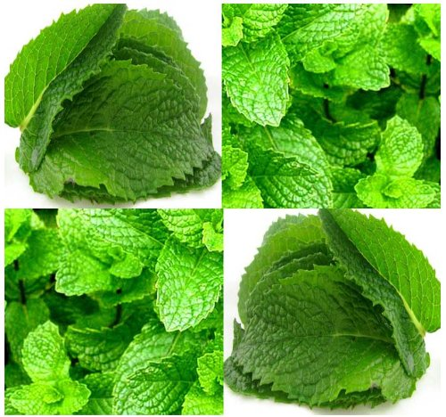 PEPPERMINT MINT Seed – MENTHA MINT SEEDS – Medicinal and Cosmetic – FRAGRANT & WARM – Makes Great Cup of Tea (000300 Seeds – 300 Seeds – Pkt. Size)