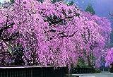 1053スーパースモールピース しだれ桜咲く角館―秋田 47-603