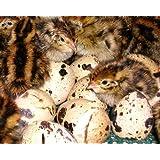 Turnbull FarmsTM Purebred Jumbo Brown Coturnix Quail Hatching Eggs - 1 Dozen (12)