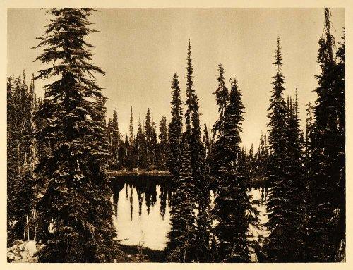 1926 Marion Lake Pine Fir Trees British Columbia Canada - ORIGINAL PHOTOGRAVURE - Original Photogravure