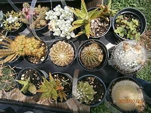 """Cactus/succulents 10 Fl Oz or 11 FL OZ (About 3"""" Pot) Cactus/succulent, Cold Hardy to 20f, 40f TOTAL FIVE (5) PLANTS"""