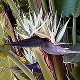 白色 瑠璃極楽鳥花 ルリゴクラクチョウカ ストレリチア・ニコライ オーガスタ 種子