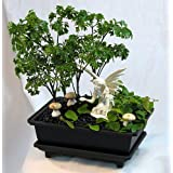 Fairy Garden Bonsai Live Ming Tree plus White F