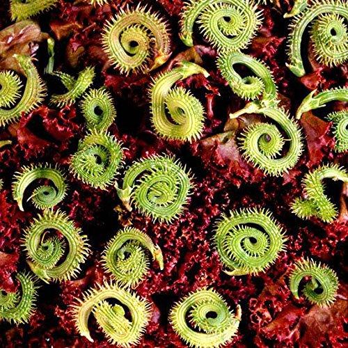 Gärtner Pötschke Raupenblume Prickly Caterpillar