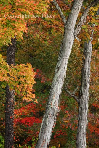 Shagbark Hickory Trees in Autumn