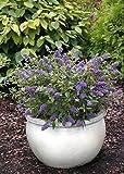 Buddleja/Buddleia Blue Chip Butterfly Bush 3L Pot