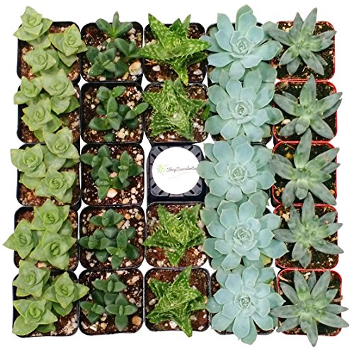 Shop Succulents Blue/Green Succulent (Collection of 4)