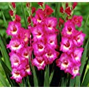 'Windsong' Large Flowering Gladiolus Bulbs - 10 Bulbs - 14/+ cm