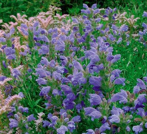 'Blue Dragon' Dracocephalum Perennial - Easy to Grow