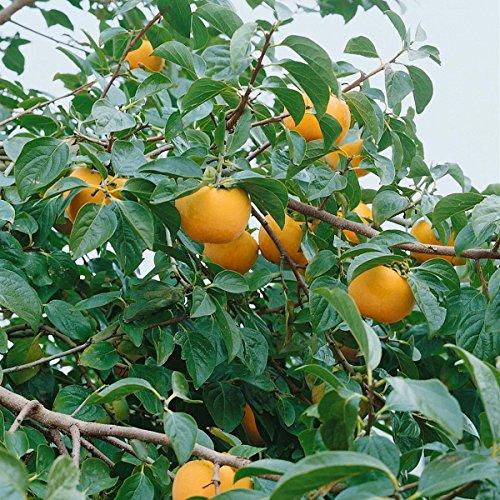 Image of Kaki Busch (Diospyros kaki), 1 Pflanze