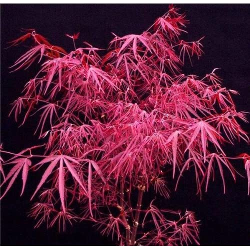 Amazon.com : Pung Kil Japanese Maple 1 - Year Graft : Maple Trees