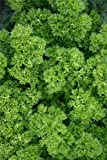 Just Seed - Parsley - Champion Moss Curled - 12500 Seeds - Large Pack