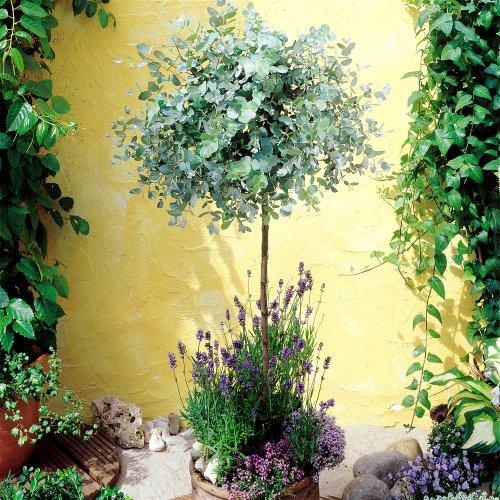verschiedene eukalyptusblueten von australien