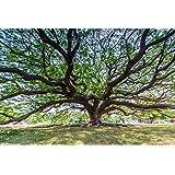 Tree Seeds : Feuilleea Saman - BestShade Tree ForHome Home Garden Pack By Creative Farmer